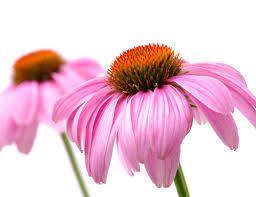 Echinacea proprietà terapautiche