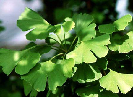 Ginkgo biloba proprietà benefici rimedio naturale